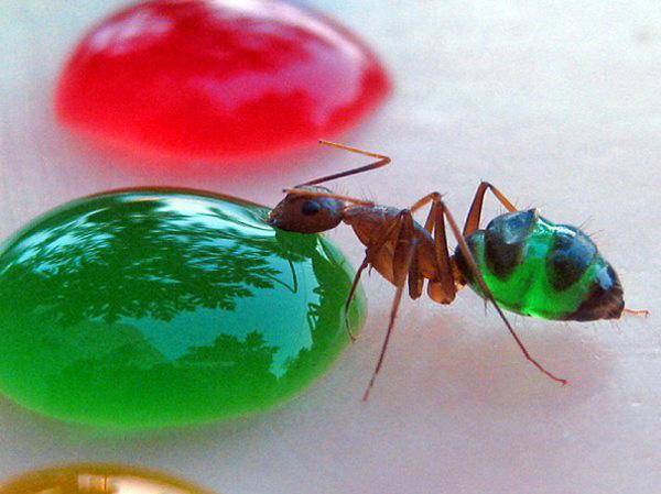Прозрачные цветные муравьи