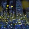 Сказочные фотографии золотых светлячков Юки Каро (7 фото)