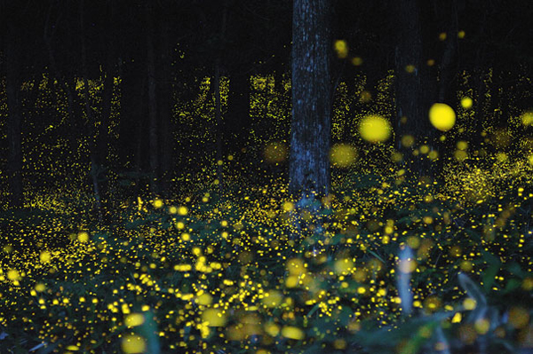 Юки Каро и его фото золотых светлячков