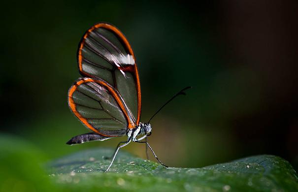 Стеклянная бабочка Грета Ото