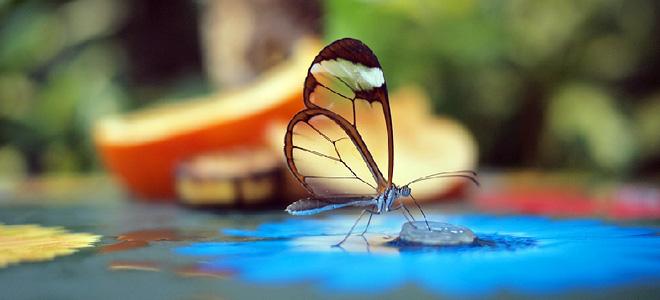 Красивая стеклянная бабочка Грета Ото (5 фото)
