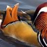 Утка мандаринка — самая красивая из семейства (9 фото)