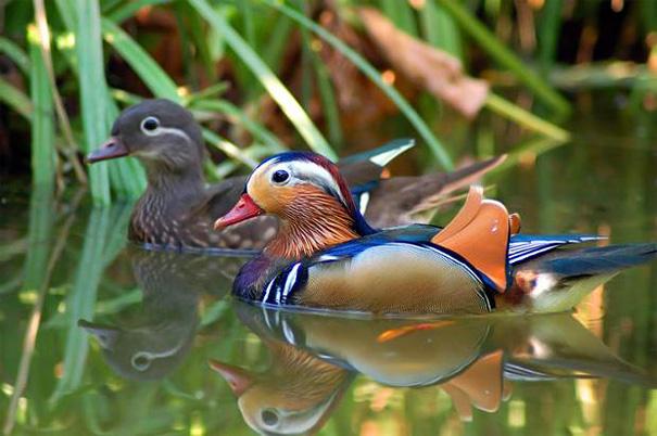 Утка мандаринка - самая красивая из семейства утиных