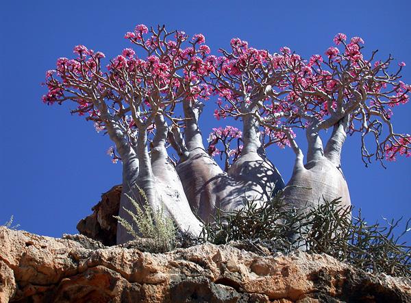 Баобаб - чудо природы