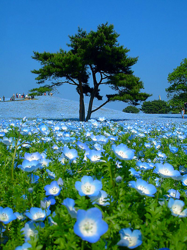 Парк Hitachi Seaside Park в Японии