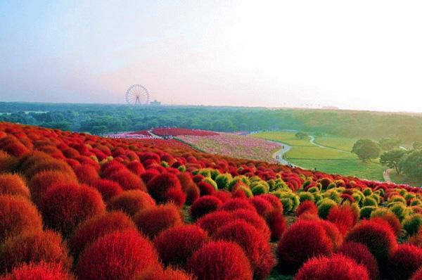 Парк Hitachi Seaside Park в Японии