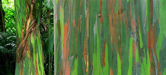 Удивительный радужный эвкалипт (7 фото)