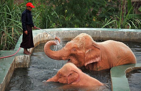 Розовые слоны Бирмы