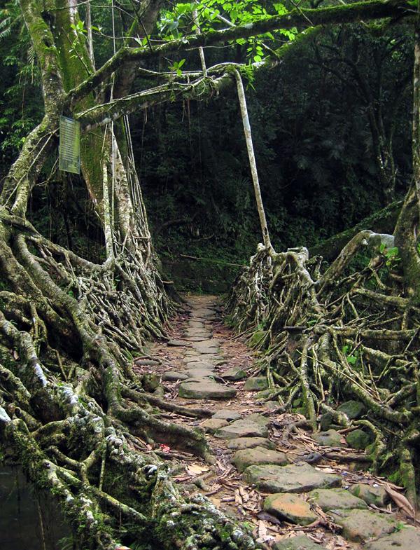 Живые мосты города Черапунджи