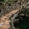 «Живые» мосты города Черапунджи (11 фото)