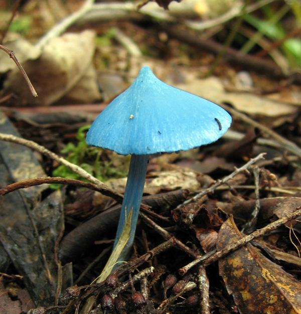 Голубой гриб Entoloma hochstetteri