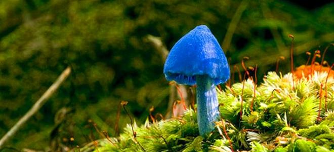 Удивительный голубой гриб Entoloma hochstetteri (9 фото)
