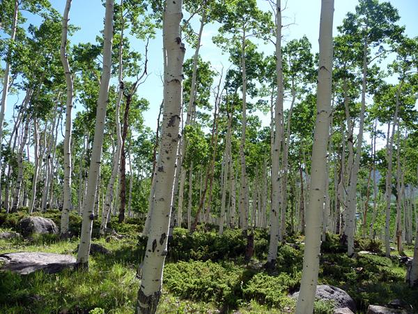 Осиновый лес Пандо
