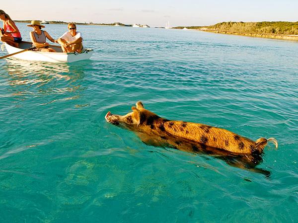 Плавающие поросята острова Биг Мэйджор Кэй