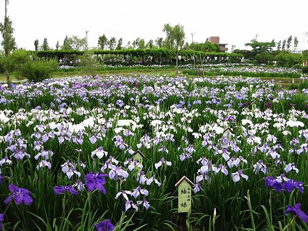 Водный сад ирисов в японском городе Савара