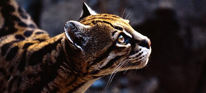 Оцелоты — хищные кошки (7 фото)