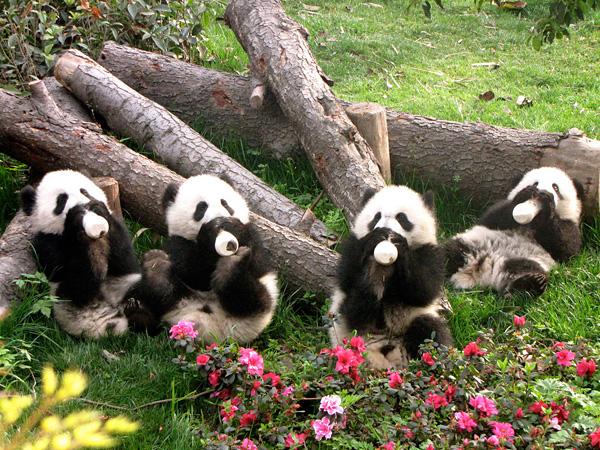 Центр исследований и репродукции панд Чэнду