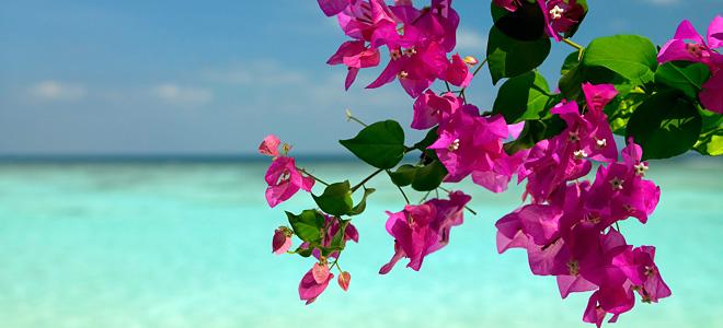 Красивейшее растение бугенвиллия (11 фото)
