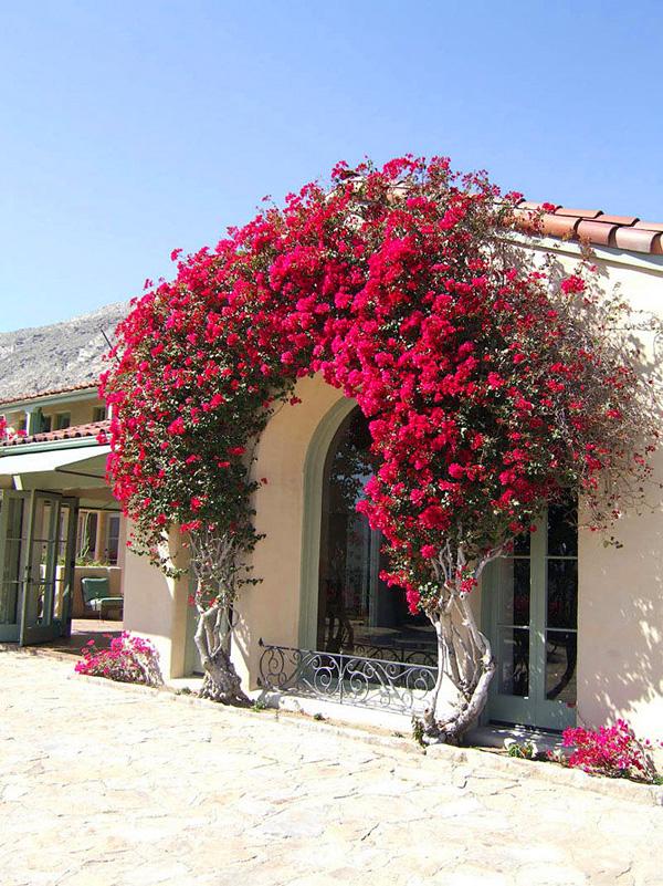 Красивейшее растение Бугенвиллия (3)