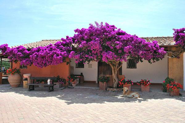 Красивейшее растение Бугенвиллия (1)