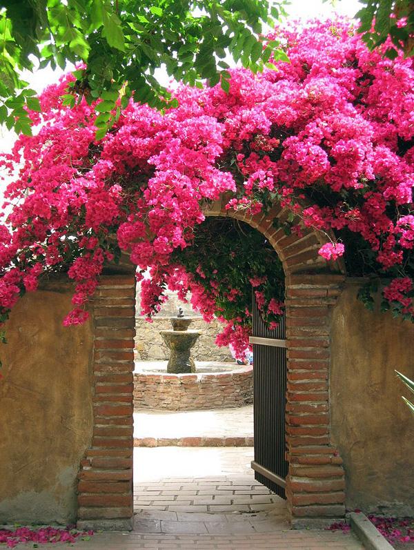 Красивейшее растение Бугенвиллия (10)