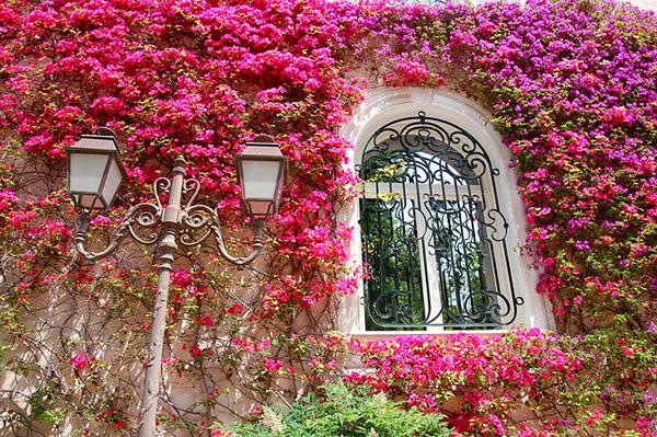 Красивейшее растение Бугенвиллия (6)