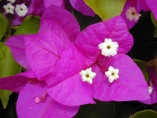 Красивейшее растение Бугенвиллия (4)