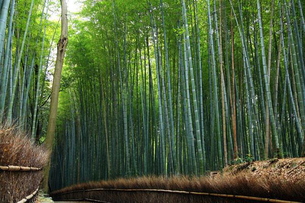Бамбуковый лес Сагано в Киото (10)
