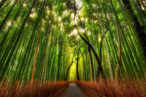 Бамбуковый лес Сагано в Киото (9)
