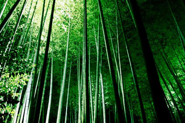 Бамбуковый лес Сагано в Киото (7)