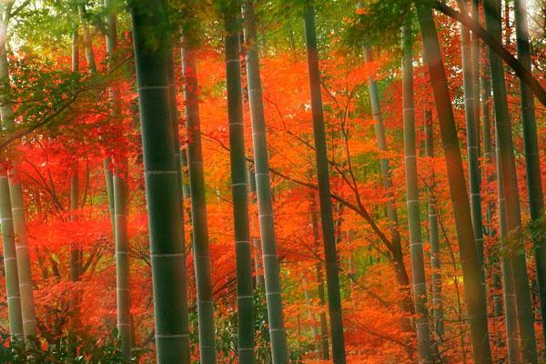 Бамбуковый лес Сагано в Киото (5)