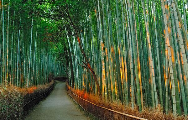 Бамбуковый лес Сагано в Киото (3)