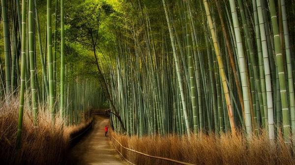 Бамбуковый лес Сагано в Киото (2)