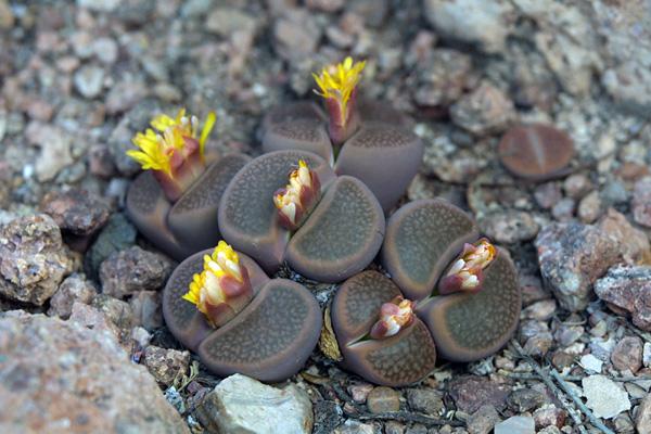 Удивительные живые камни литопсы (2)