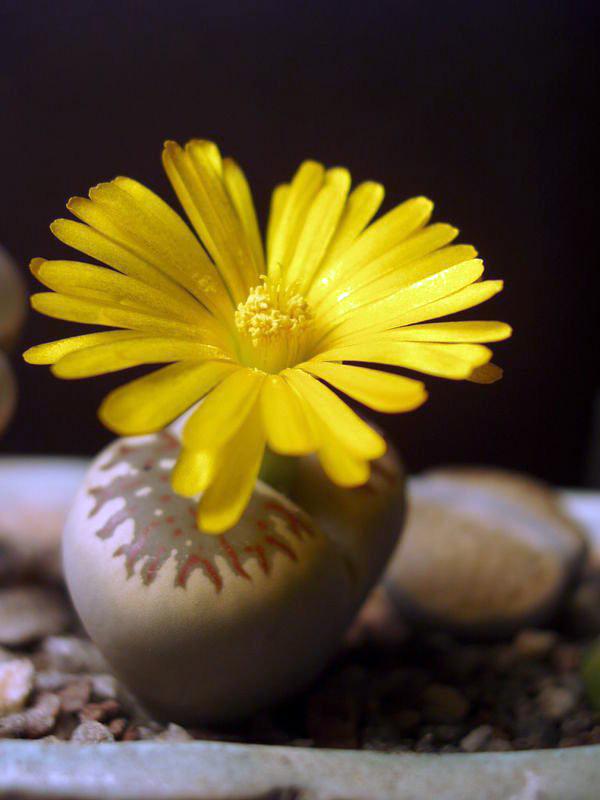 Удивительные живые камни литопсы (9)