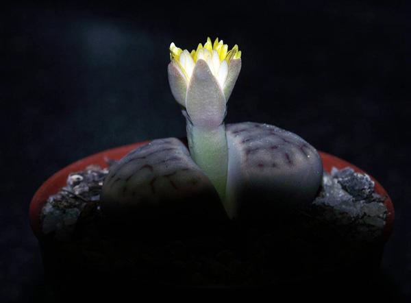 Удивительные живые камни литопсы (8)
