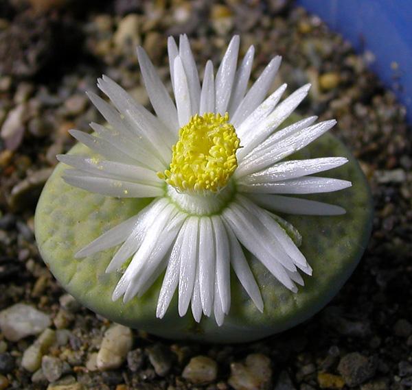 Удивительные живые камни литопсы (5)