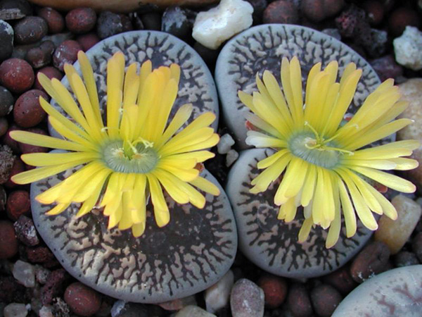 Удивительные живые камни литопсы (4)