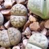 Удивительные живые камни литопсы