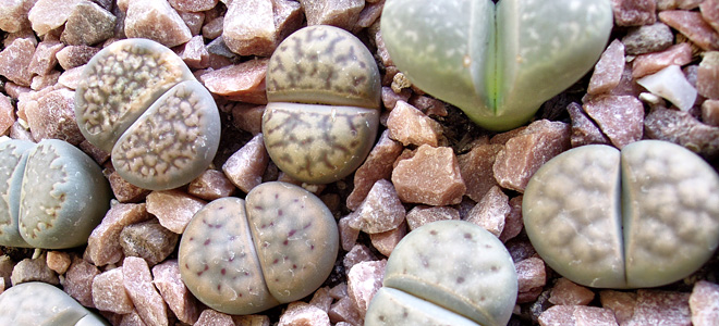 Литопсы — удивительные живые камни (11 фото)