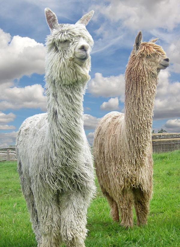 Очаровательные животные Альпака