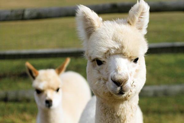 Животные Альпака из семейства верблюдовых