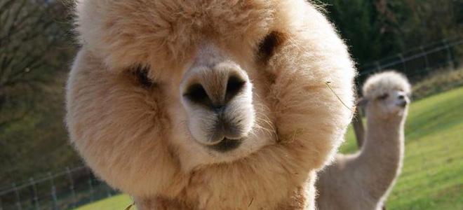Очаровательные животные Альпака (9 фото)