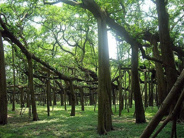 Великий баньян - дерево с самой обширной кроной (1)