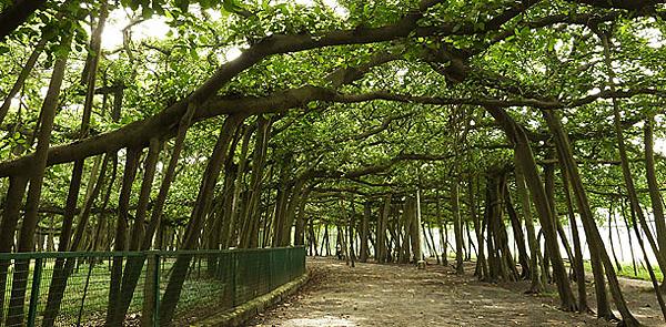 Великий баньян - дерево с самой обширной кроной (7)