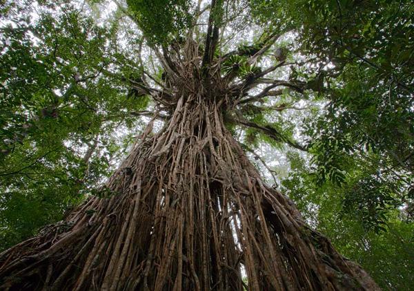 Великий баньян - дерево с самой обширной кроной (6)