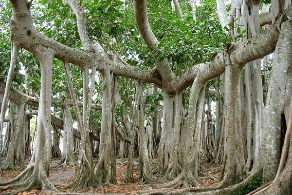 Великий баньян - дерево с самой обширной кроной (5)