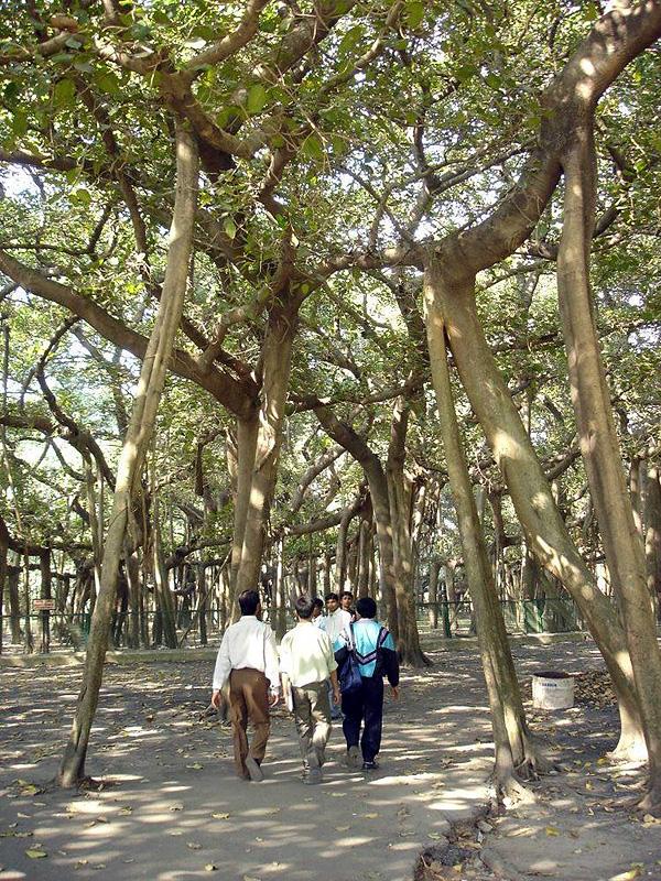 Великий баньян - дерево с самой обширной кроной (2)