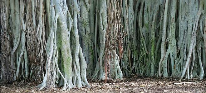 Великий баньян — дерево с самой обширной кроной (9 фото)