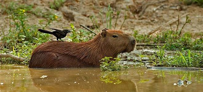 Капибара — самый крупный грызун в мире (9 фото)
